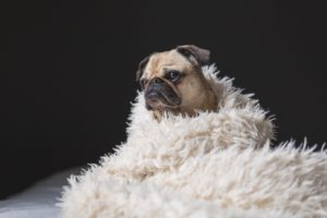 snuggly pug dog