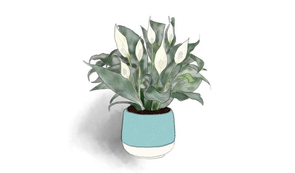 Peace Lily (Spathiphyllum) drawing © Minette Meijer