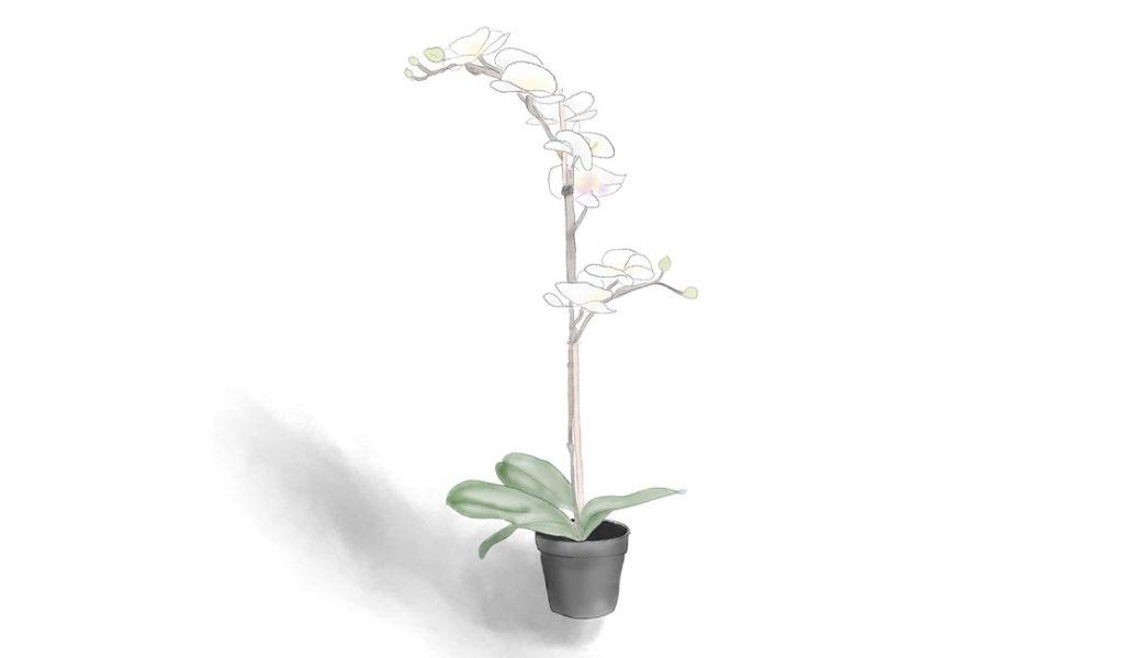 Orchid (Phalaenopsis Blume) drawing © Minette Meijer