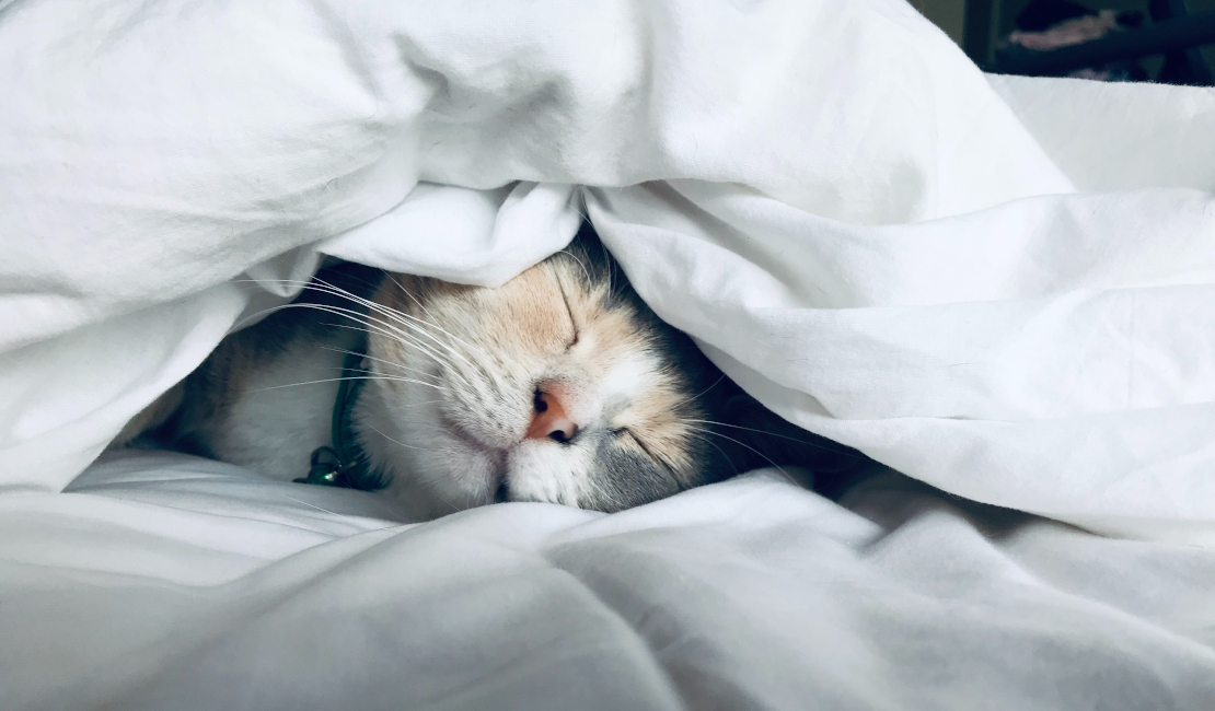 A white and grey cat snuggled up under a sparkling clean white duvet cover.