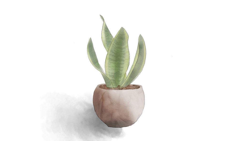 Snake plant (Sansevieria trifasciata) drawing © Minette Meijer