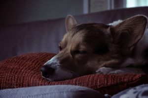 sleeping dog corgi