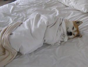 Even dogs love 100% cotton linen!